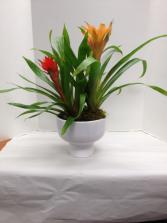Bromeliad Compote Plant