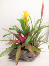 Bromeliads & Air Plants in Driftwood