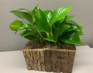 Brown bark with pothos planter