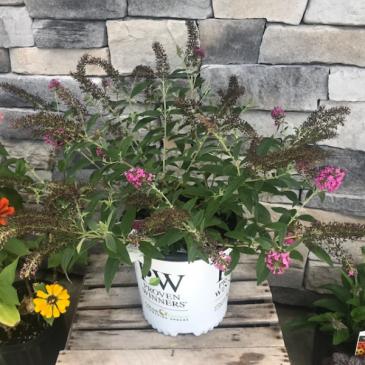 Buddleia 2 Gallon Perennial