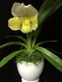 Bulldog Orchid