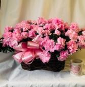 Burst of Pink Azaleas Blooming Plants