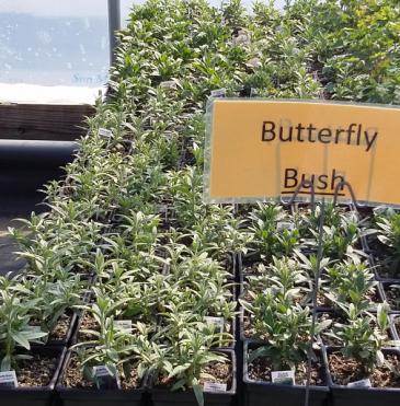 Butterfly Bush  Perennial - Sun