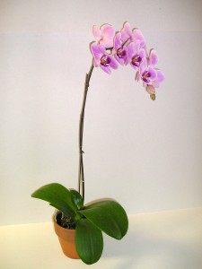 Butterfly Orchid Plant * Call for Availability ** * $59.95 Special for Local Delivery only