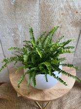 Button Fern plant
