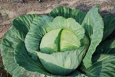 Cabbage Greenhouse