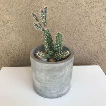 Cactus Cactus Plant