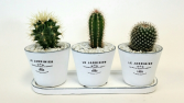 Cactus Trio Set of Live Plants