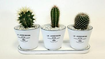 Cactus Trio Set of Live Plants