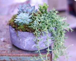 Cael Thomas Live Succulents in Winder, GA | Fresh Attitudes Flowers