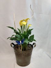 Cala lily Plant Mini Cala Lily potted plant
