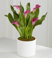 Cala Lily Plant Plant