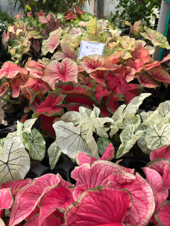 Caladium Greenhouse