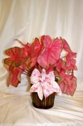 Caladium Pink Plant Plants
