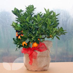 Calamondin Orange Tree  in Oliver, BC | Flower Fantasy & Gifts Inc.
