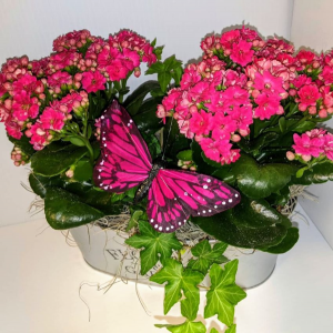 Calandiva Butterfly Tin Blooming Plants in Chatham, NJ | SUNNYWOODS FLORIST