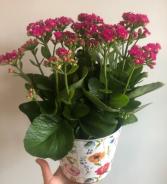 Calandiva Plant (Colour Varies)
