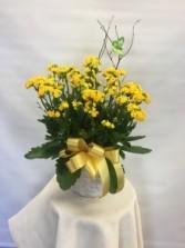 Calandiva Kalanchoe Single Plant Basket