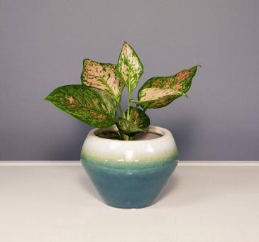 Calathea - Pink Plant