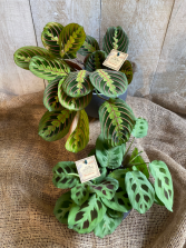 Calathea plants  Prayer Plants