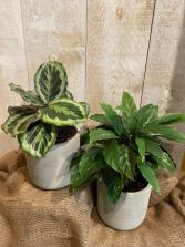 Calathea Prayer plant