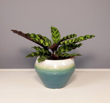 Calathea - Rattlesnake Plant