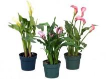 Calla lilly Plant