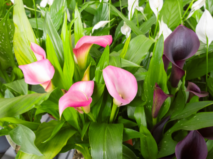 Calla Lily Blooming plants