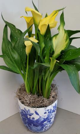 Calla Lily Live Plant