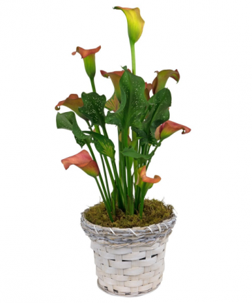 Calla Lily Plant Blooming Plant
