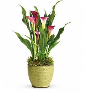 Calla Lily Plant  Ceramic pot