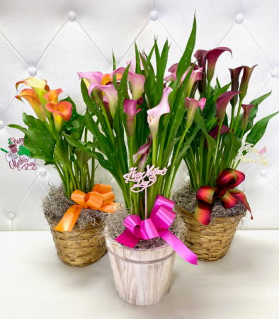 *SOLD OUT*Calla Lily Plant for Mom Assorted Colors