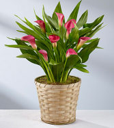 CALLA LILY PLANT IN BASKET