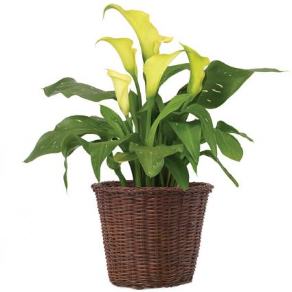 CALLA LILY PLANT Plant