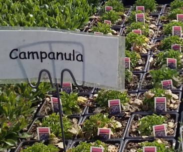 Campanula Perennial - Full sun - light shade