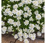 Candytuft Greenhouse
