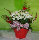 CARDINAL CALENDIVA Blooming Plant