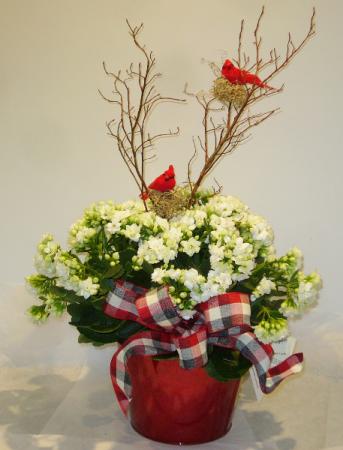 CARDINAL CALENDIVA Indoor Blooming Plant
