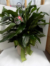 Cardinal Peace Peace Lily plant with a rememberence Ornament