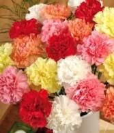 Carnations 50 stems Carnations