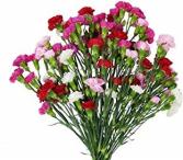 Carnation - Miniature  Bunch