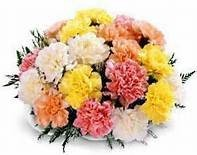 Carnations Wrapped  This week's Special -one dozen