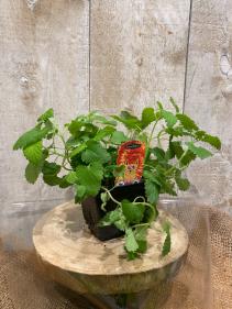 Organic Cat Nip plant