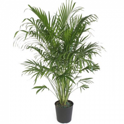 Cat Tail Palm potted plant