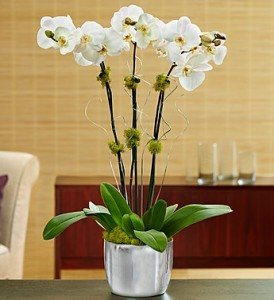 Celebration Orchids Plant in Spring, TX | ANGEL'S DIVINE FLOWERS