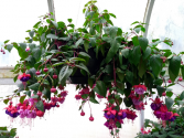 Chad's Pick: Shade Loving Fuchsia Hanging Annual Plant Basket (DESIGNER'S CHOICE SUBSTITUTION DOES NOT APPLY TO PLANTS)