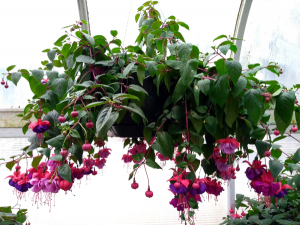 Chad's Pick: Shade Loving Fuchsia Hanging Annual Plant Basket (DESIGNER'S CHOICE SUBSTITUTION DOES NOT APPLY TO PLANTS) in North Adams, MA | MOUNT WILLIAMS GREENHOUSES INC