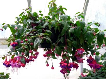Chad's Pick: Shade Loving Fuchsia Hanging Annual Plant Basket