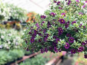 Chad's Pick: Sunny Calibrachoa Hanging Annual Plant Basket in North Adams, MA | MOUNT WILLIAMS GREENHOUSES INC