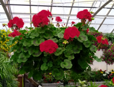 Chad's Pick: Sunny Geranium Hanging Annual Plant Basket (DESIGNER'S CHOICE SUBSTITUTION DOES NOT APPLY TO PLANTS)